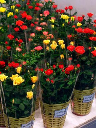 Розы домашние